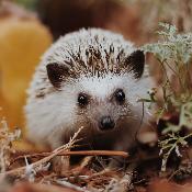 hopelesshedgehog